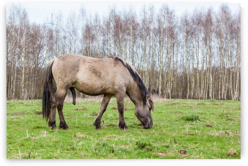 Konikhorse on the field by Marcel Derweduwen