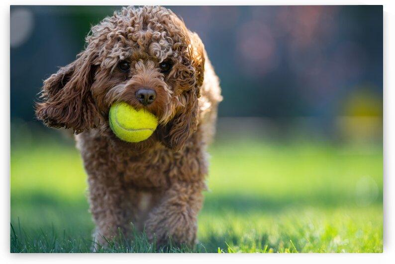 Tennis Ball Mad Cavapoo by Pete bird - StrangeWorkz