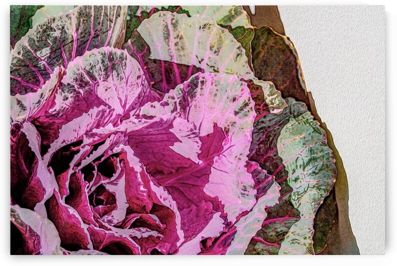 Cabbage_Rose by Mark A  Harris