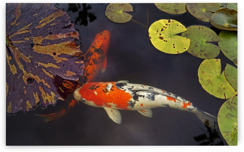 Japanese Koi by Lawrence Costales