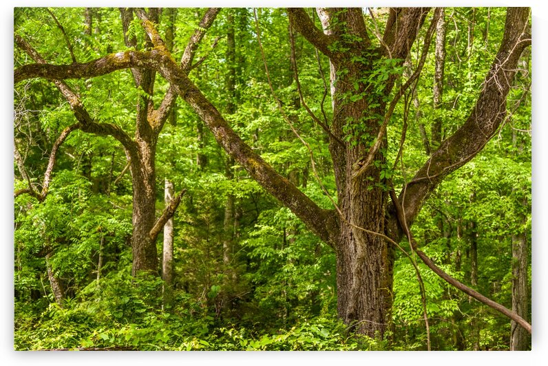 Trees in a Forest by Bobby Twilley Jr