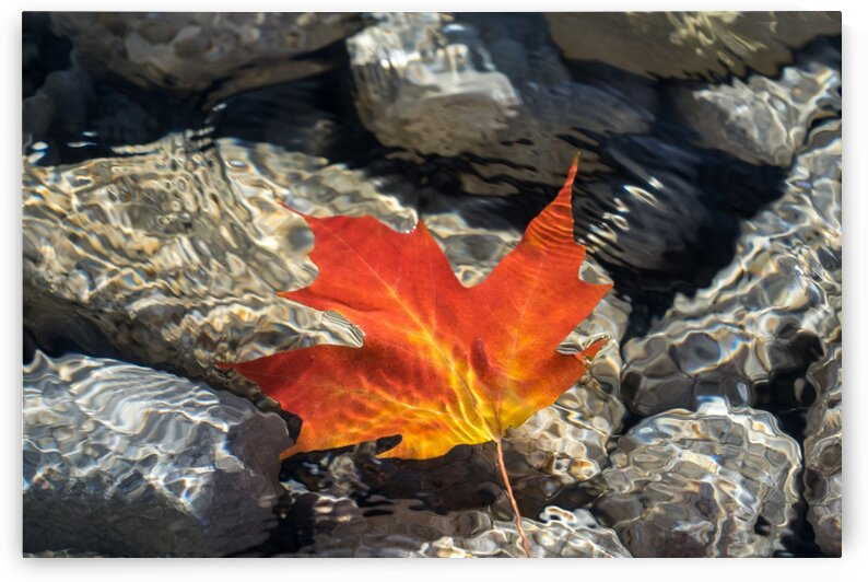 Playful Patterns - Maple Leaf in Bold Vermilion and Orange Floating Underwater by GeorgiaM