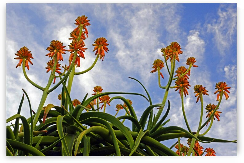 La Jolla Aloe Blooms and Sky by Lawrence Costales