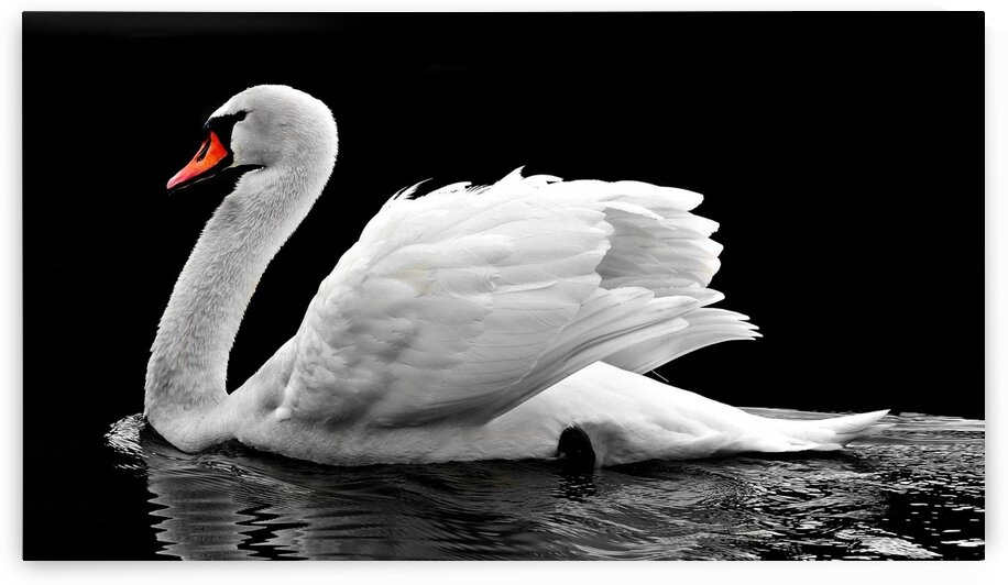 Beautiful swan by Nature Art