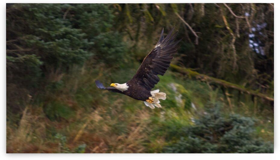 Eagle in Flight by Nicholas