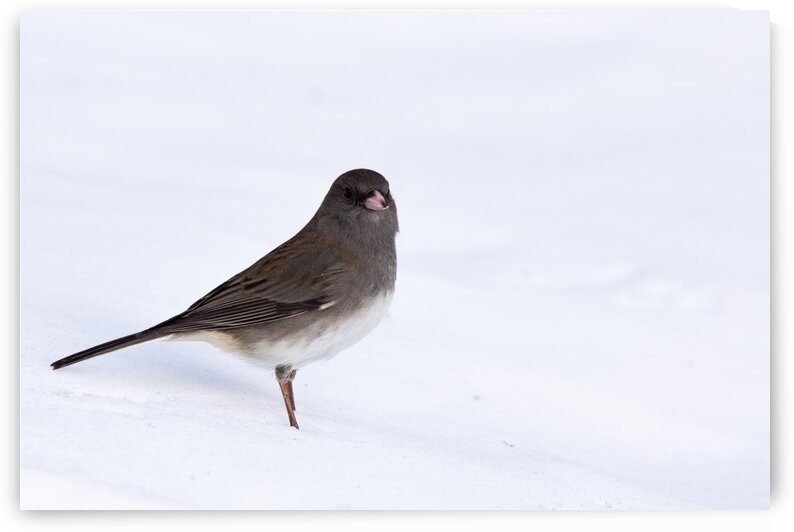 Dark-eyed Junco Winter by Dylan Brew Photography
