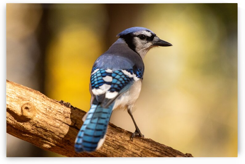 Blue Jay by Dylan Brew Photography