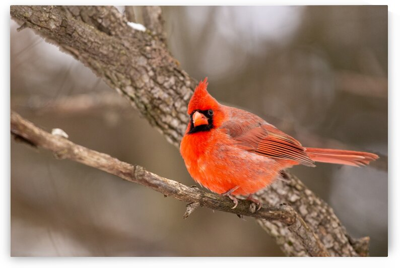 Northern Cardinal  by Dylan Brew Photography