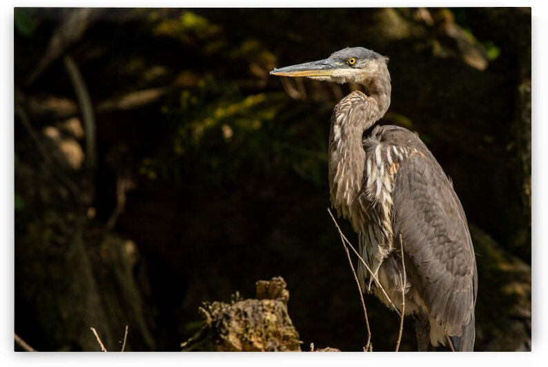 Great Blue Heron by Dylan Brew Photography