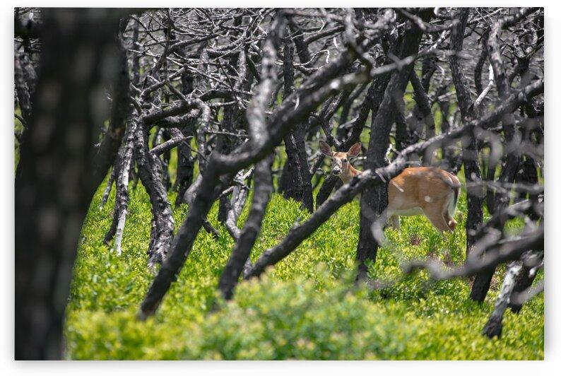 Minnewaska Deer by Dylan Brew Photography