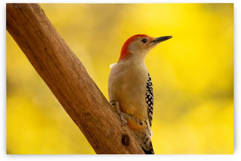Red-bellied Woodpecker by Dylan Brew Photography