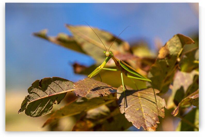Praying Mantis by Dylan Brew Photography