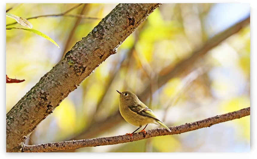 Ruby Crowned Kinglet In Golden Autumn by Deb Oppermann