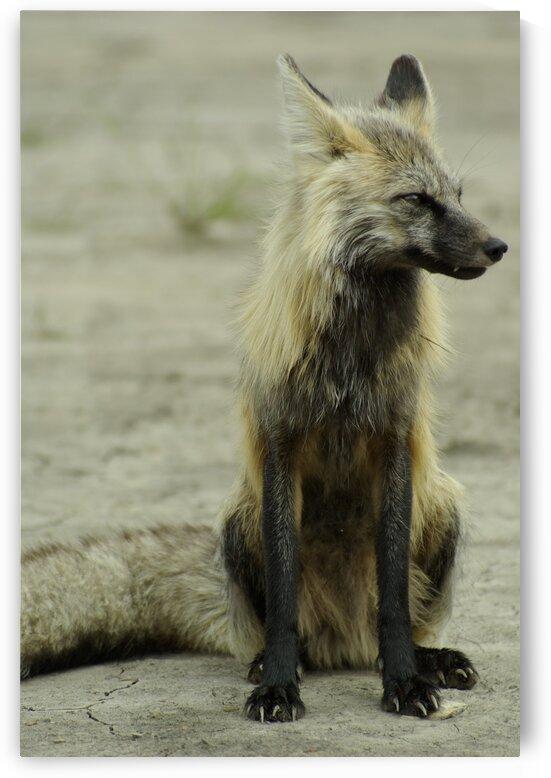 Fox by Kristian Gunderson