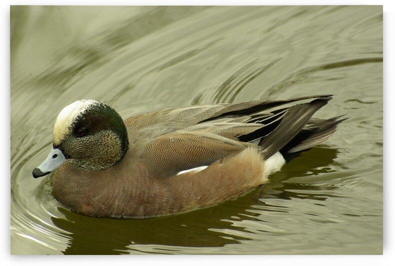 Duck by Kristian Gunderson