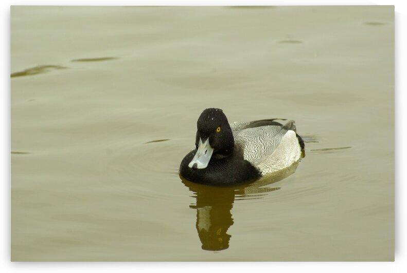 Spoonbill Duck by Kristian Gunderson