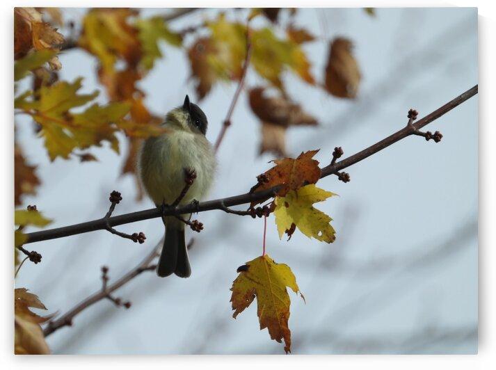 Late Fall Flycatcher by Debbie Caughey