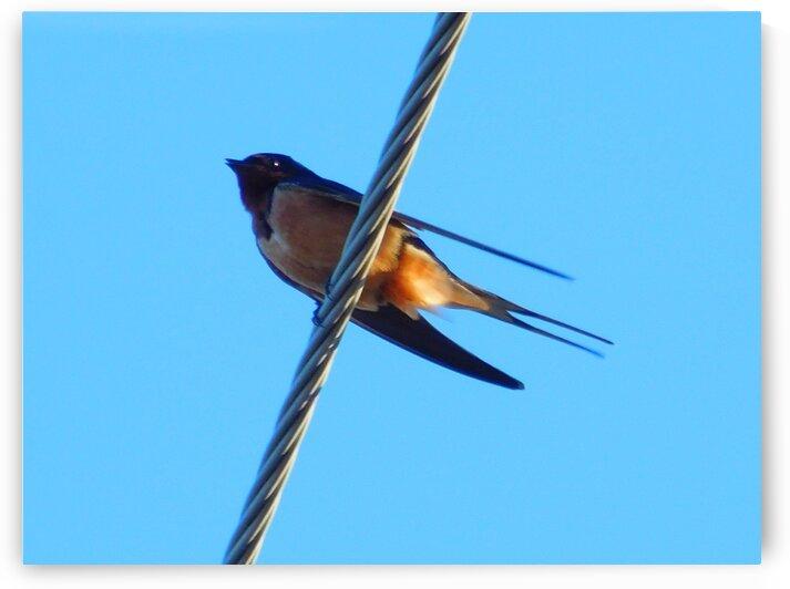Barn Swallows Return by Debbie Caughey