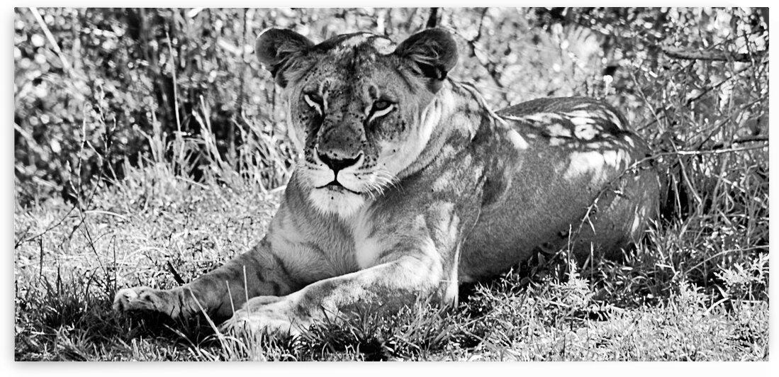 lioness by D de G