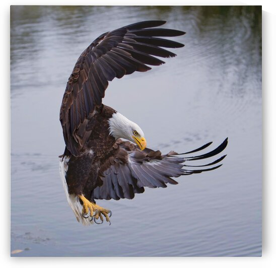 BaldEagleFlyby by Chris Seager