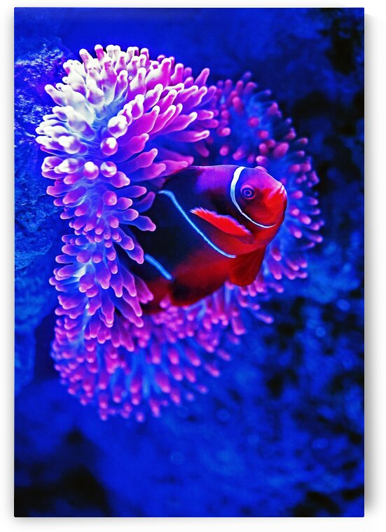 Red Clown Fish_OSG by One Simple Gallery