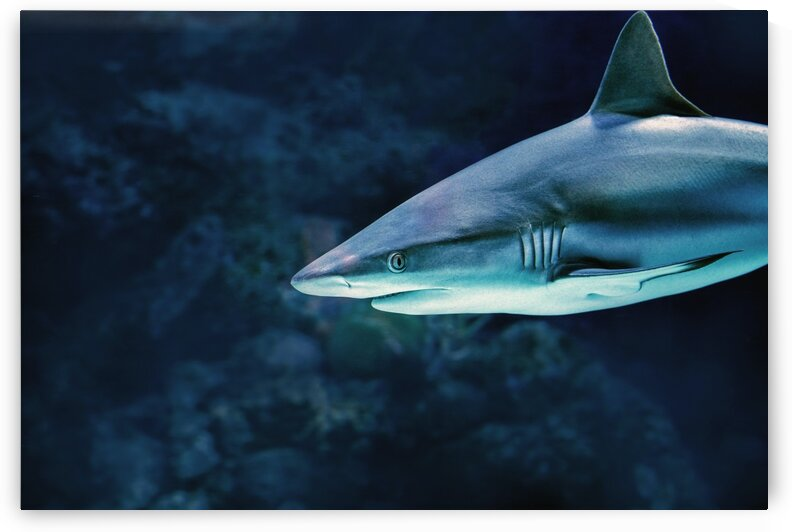 Vicious Reef Shark_OSG by One Simple Gallery