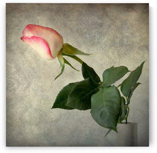 Antique rose by Barbara Corvino