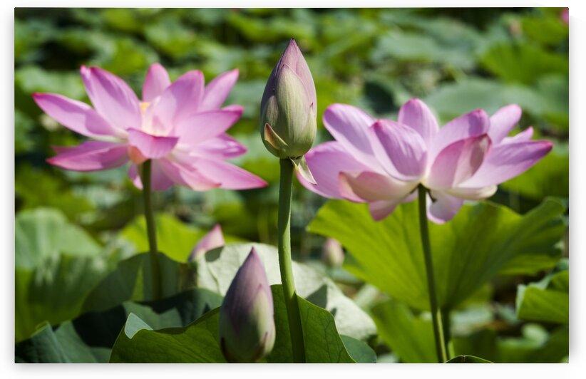 Lots bud with blooming lotus flowers behind by Atelier Knox