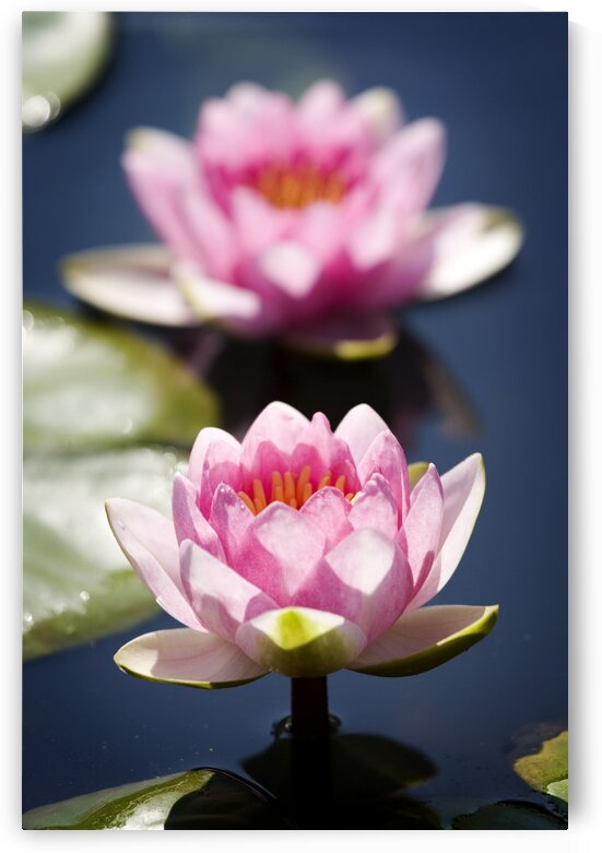 Two lotus flowers in water with shallow depth of field by Atelier Knox