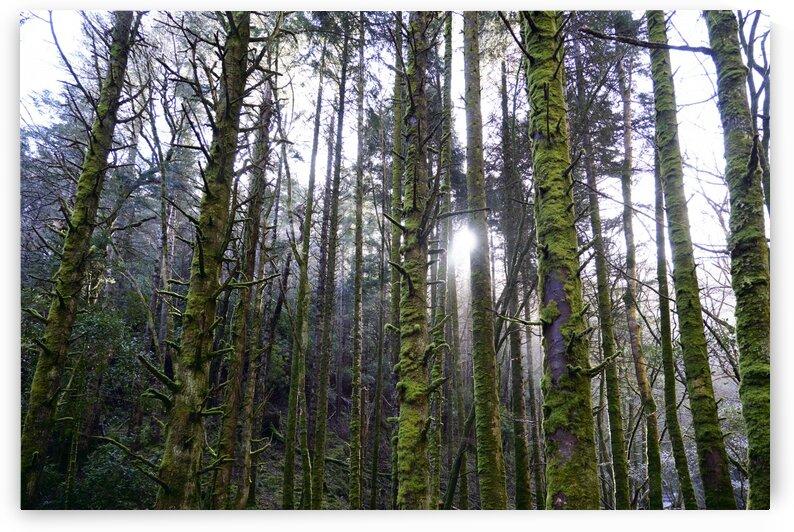 Trees of the Killarney National Park Co. kerry Ireland Europe 2018 by Atelier Knox