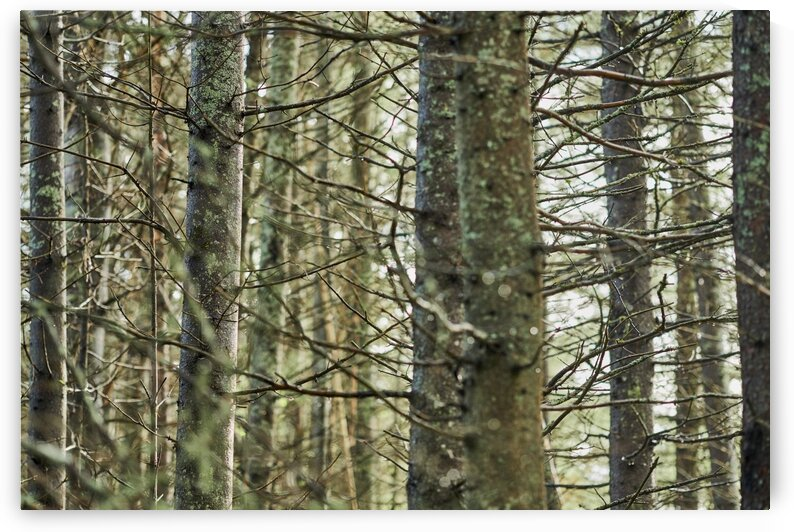 Trees in forest Mauricie National Park Quebec Canada by Atelier Knox