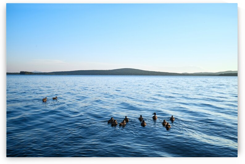 Family of ducks swimming in lake Lake Brome Quebec Canada by Atelier Knox