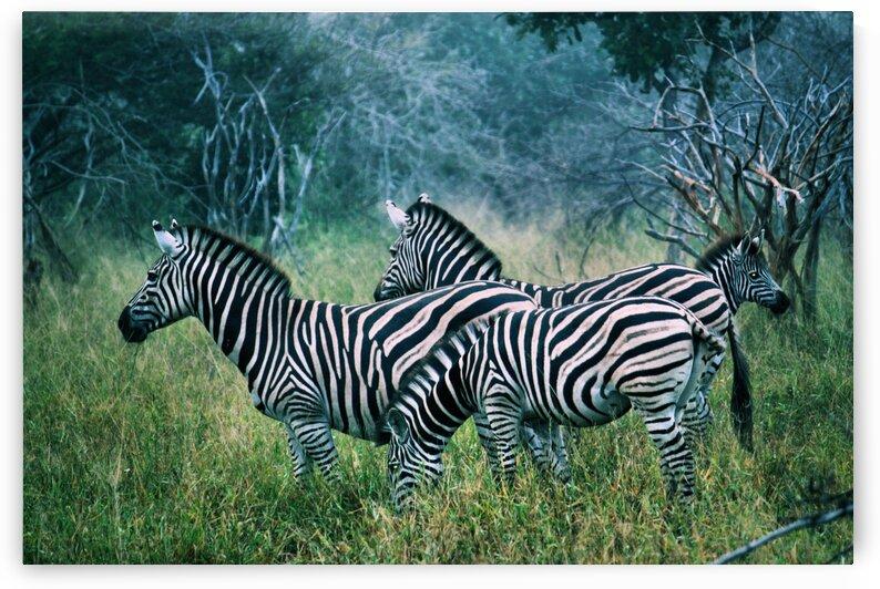 Zebras by D de G