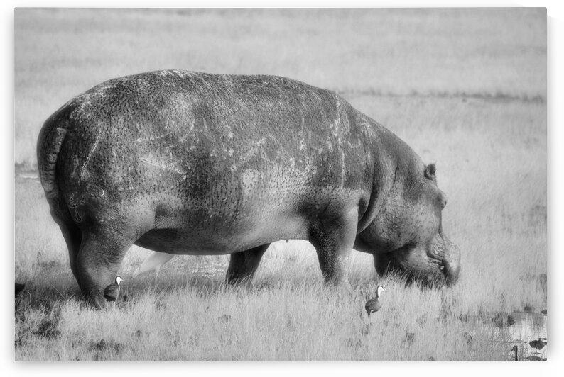 Hippo EastAfrica by D de G