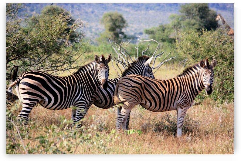 Zebras2 by D de G