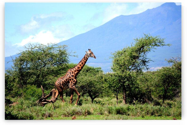 Giraffe EA by D de G