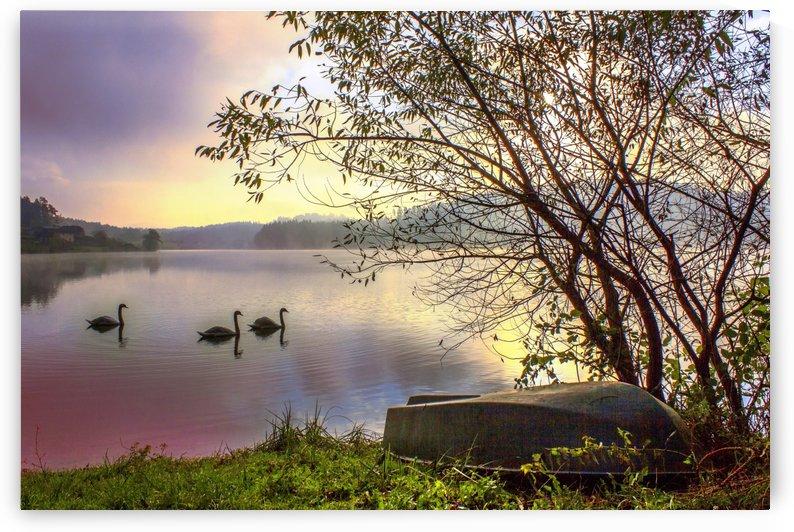 Swans by Dario Barukcic