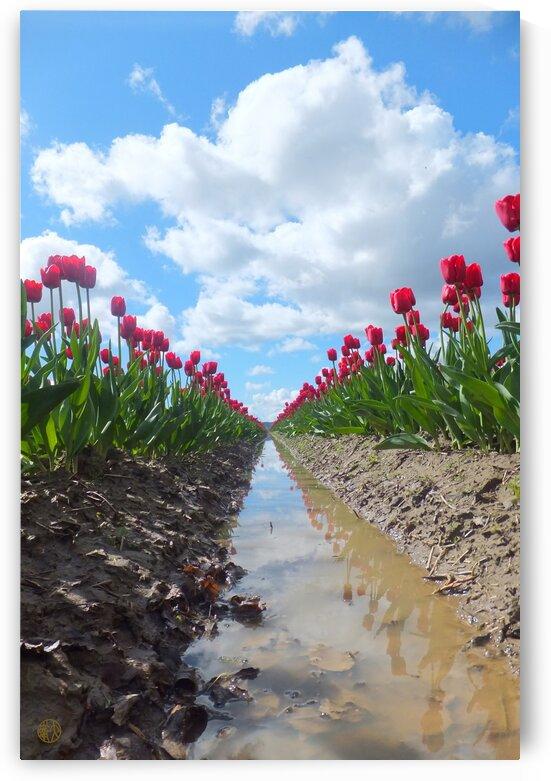 156    Tulip Field by 4U2C