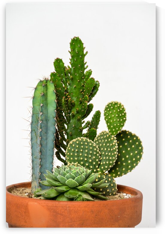 Small cactus with thorns in a pot on white background	 by Francois Lariviere