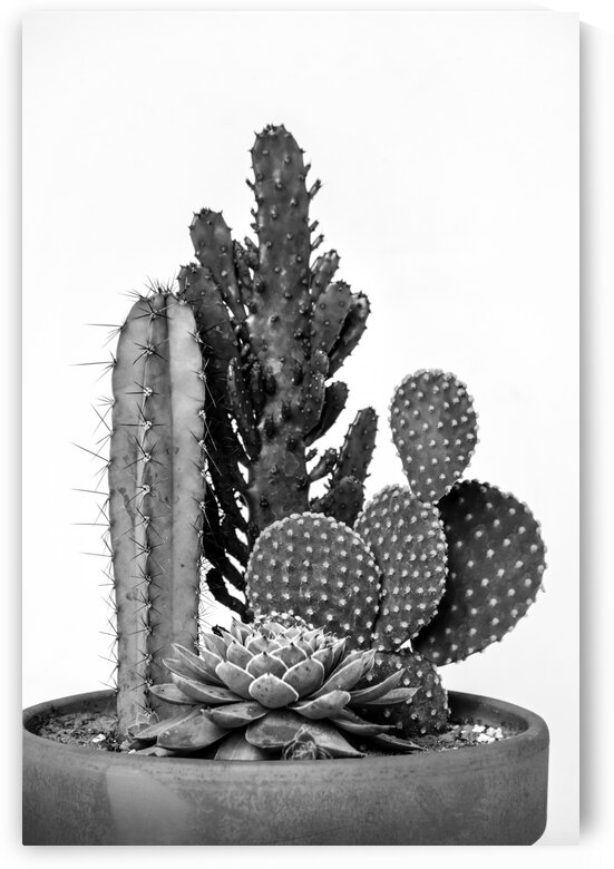 Small cactus with thorns on white background black and white by Francois Lariviere