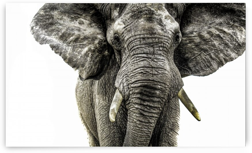 Elephant Surge by Bill Sewell