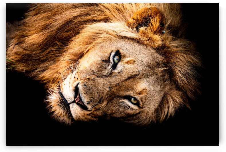 Lion by Bill Sewell