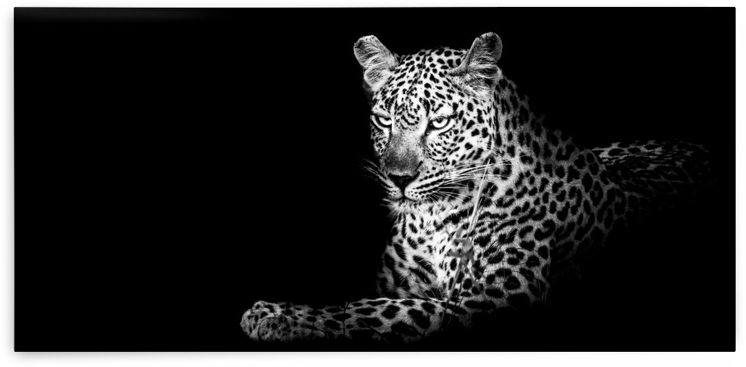 Leopard Lounging by Bill Sewell