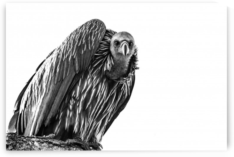 Vulture by Bill Sewell