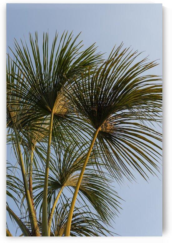 Buriti Palms 01 by Augusto Miranda