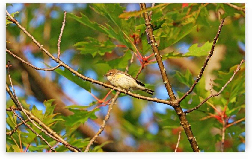 Yellow Rumped Warbler In Oak Tree by Deb Oppermann