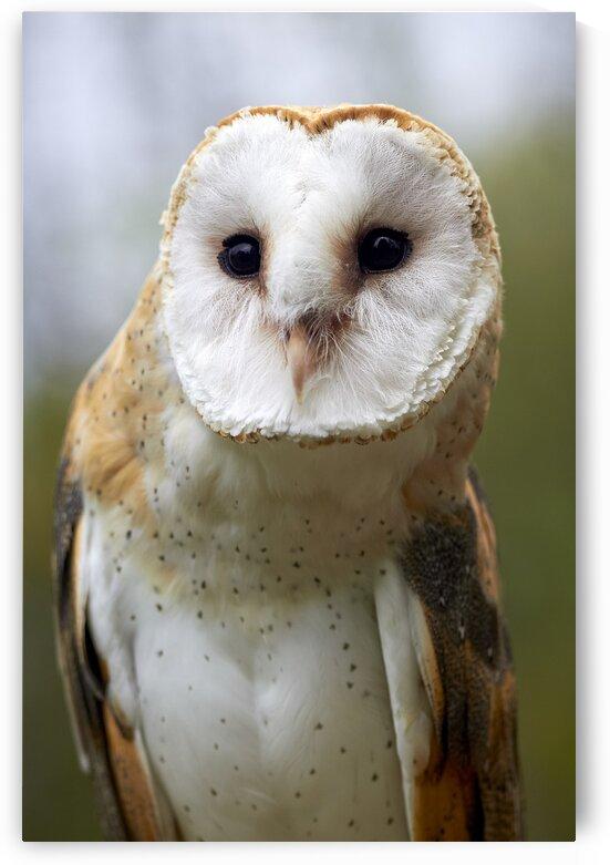 Barn Owl  by Nicole Buzzing Photography