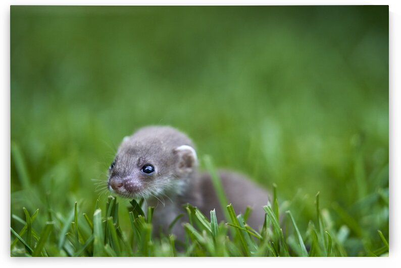 Baby Weasel by Nicole Buzzing Photography
