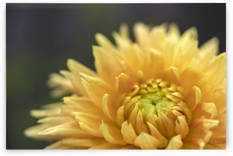 Soft Yellow Dahlia by Nicole Buzzing Photography