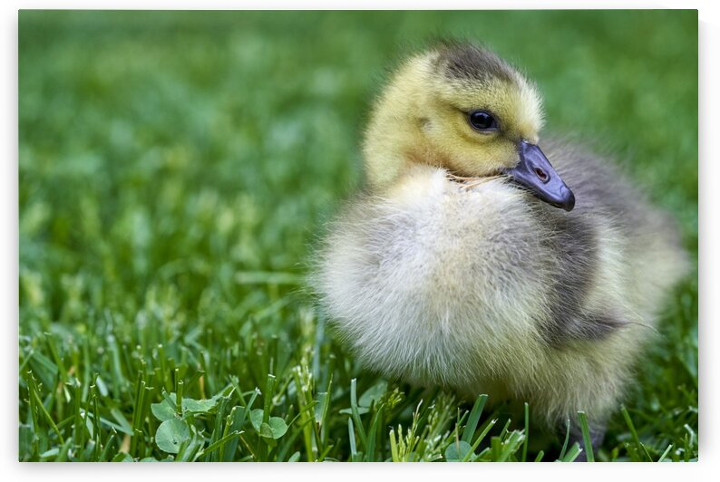 Spring Gosling by Nicole Buzzing Photography